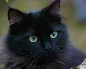 black-cat-375866_640