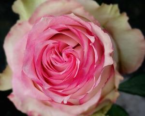 rose-511904_640